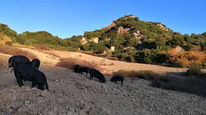 Allevatori del Maiale Nero d'Aspromonte