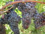 uva vitigno