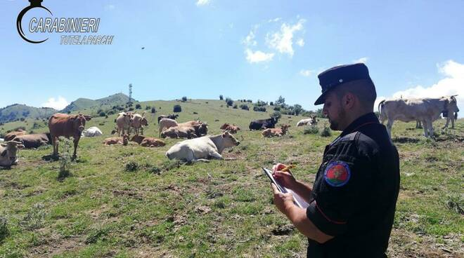 carabinieri controllo bovini