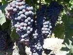 vignia vigneto uva