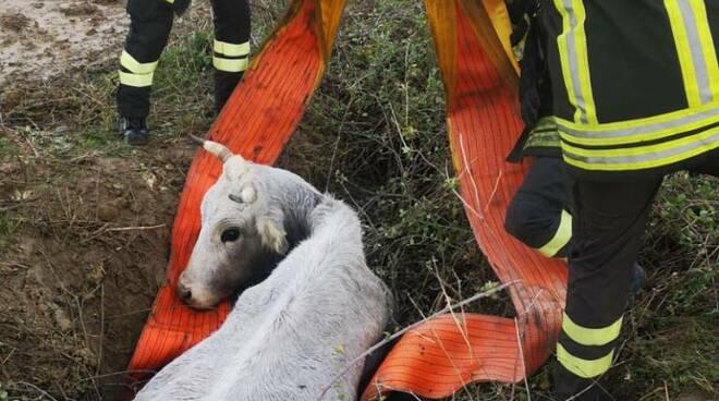 mucca scandale vigili del fuoco