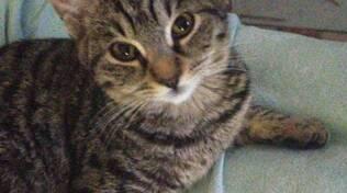 Smarrita gattina di 7 mesi