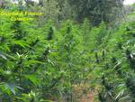 cannabis marijuana gdf